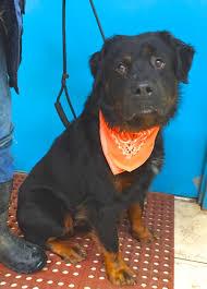 australian shepherd rottweiler mix puppies for sale adoptable dogs