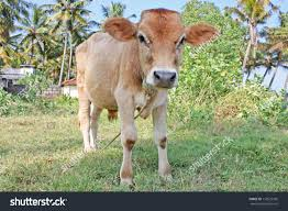 funny small indian cow kerala stock photo 116525305 shutterstock