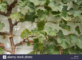 bunches of grapes vitis vinifera growing on a vine against a