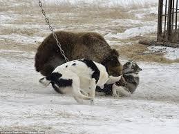 bear chained tree savaged dogs russian u0027hunting