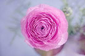 Ranunculus Free Photo Ranunculus Blossom Bloom Petals Free Image On