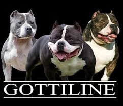american pitbull terrier gator the history of notorious juan gotty u0026 gottiline u2013 bully king