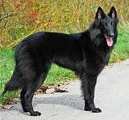 belgian shepherd x malamute the german shepherd dog and its relatives mygermanshepherd org