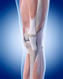 Anatomy Of The Knee Acl Structure And Function Set Physical Therapy