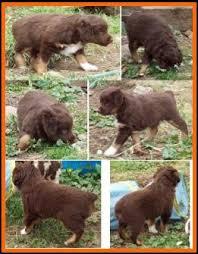 australian shepherd newfoundland callie u0027s litter 1 pup1 bet blue eyed red tri male miniature