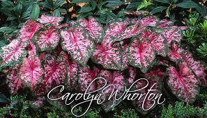 carolyn wharton caladium bulbs grows well in shade and some sun