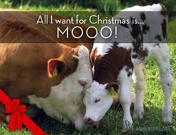 Moo Meme - christmas memes agrilicious