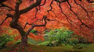 colorado u s japanese gardens japanese maple tree next to pond at the portland japanese garden