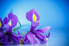 blue and purple flowers iris flower meaning flower meaning