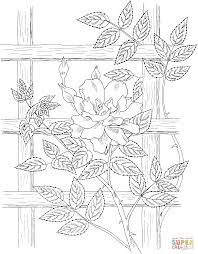golden showers climbing rose coloring page free printable