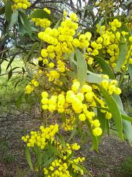 native plants tasmania hard leaf wattle acacia sclerophylla australian native