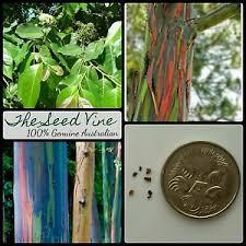 20 rainbow eucalyptus tree seeds eucalyptus deglupta tropical