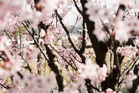 everything you need to know about the cherry blossoms time out tokyo