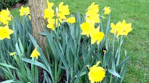 early british spring blossomed yellow daffodils flowers in garden