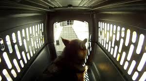 belgian shepherd for sale in malaysia german shepherd dog going through an airline flight youtube