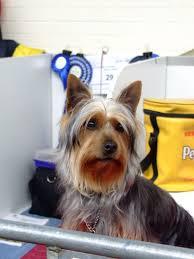 silky terrier with haircut australian silky terrier club of victoria inc