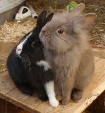 rabbit bunny bonding bunnies cottontails rabbit guinea pig