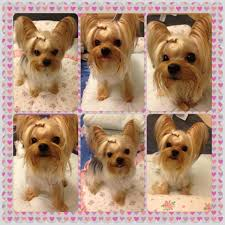haircuts for yorkie dogs females the first time of hair grooming new hair cut with adorable face