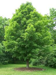 maple trees names pictures and types of acer species