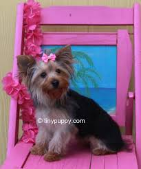 yorkie teddy bear face haircut yorkie haircuts and hairstyles tinypuppy