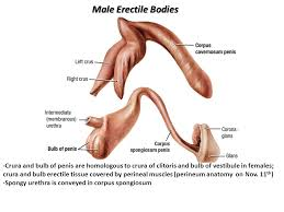 Male Anatomy Perineum Male Reproductive Viscera Ppt Video Online Download