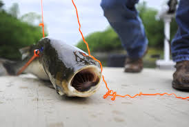 photo gallery photos of the month may 2016 6 9 16 southeast lance altenthal catches a silver carp a variety of asian carp while bow fishing in ramsey creek on monday morning may 9 2016 laura simon