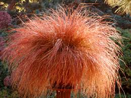 carex flagellifera toffee twist ornamental grass for areas