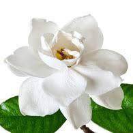 gardenia flower meaning of gardenias what do gardenia flowers
