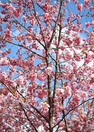 Small Backyard Trees by Trees Suitable For Small Backyards Trees For Small Backyards