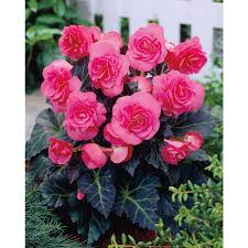 shop garden state bulb 2 pack double pink tuberous begonia