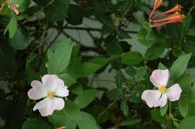 illinois native plants bloom day 1 u2013 gardeninacity