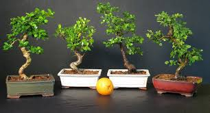 bonsai trees for sale in fort lauderdale