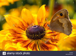 the butterfly on flower of rudbeckia stock photo royalty free