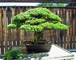 this 390 year bonsai tree survived an atomic bomb