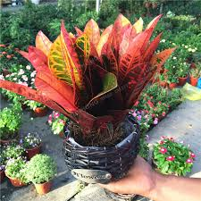 aliexpress buy codiaeum variegatum seeds ornamental plants