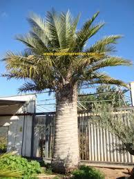 palmier du chili palmiers prestige vente de palmiers et cocotiers d u0027extérieurs
