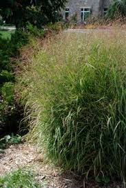 molinia skyracer knoll gardens ornamental grasses and