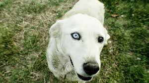 Causes Of Sudden Blindness In Dogs 9 Health Problems Seen In Senior Dogs