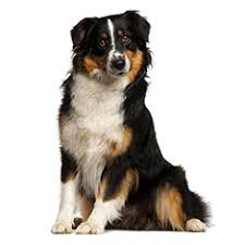 australian shepherd york miniature australian shepherd breed information