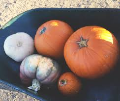 Pumpkin Patch Moorpark by Underwood Farms Pumpkin Patch Find Your Perfect Pumpkin Where