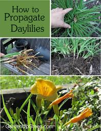 day lilies how to propagate daylilies garden up green