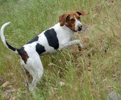 bluetick coonhound rabbit hunting here are 3 great coon hunting hounds