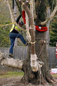 pennsylvania tree to adorn rockefeller center for christmas sfgate