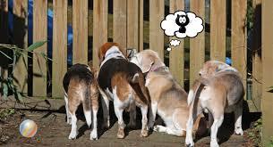 beagles 101 u2013 cascade beagle rescue