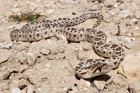 pacific gopher snake wikipedia