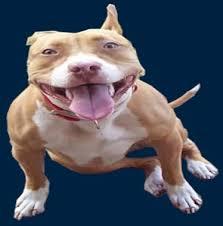 america pit bull terrier club happy pit bull jpg