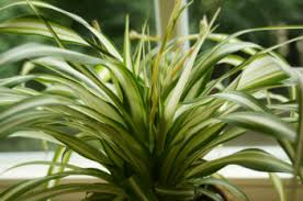 grünpflanzen im schlafzimmer pflanzen für das schlafzimmer welche zimmerpflanzen eignen sich