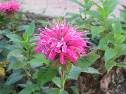 perth native plants garden design with bee balm plant species small landscape trees