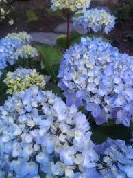 Hydrangea Flowers Blue Enchantress Hydrangea Monrovia Blue Enchantress Hydrangea