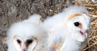 North American Barn Owl Family Ties Barn Owl Let Their Hungry Siblings Eat First